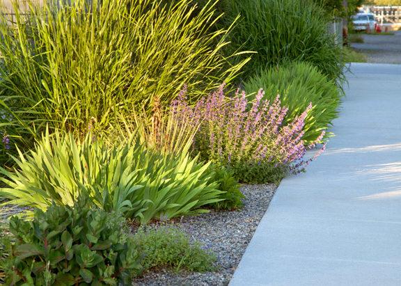 Hellstrip planting of drought tolerant perennials and grasses.